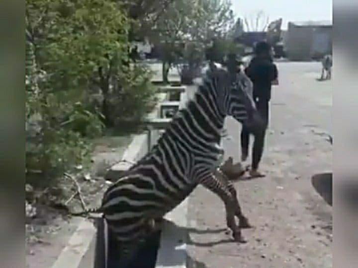 مرگ گورخر آفریقایی در پی نگهداری چند روزه در گمرک؛ ضرب و شتم حیوانات در بدو ورود به کشور – خبرگزاری…